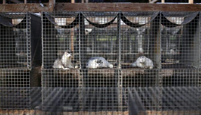 Erstatningsmulighed til minkavlere der ønsker at genoptage erhvervet