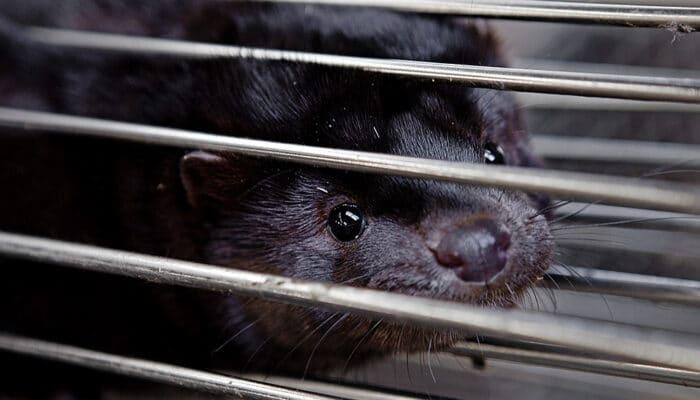 Ny politisk aftale om erstatning til minkavlerne